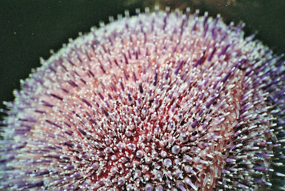 Common Sea Urchin
