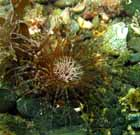 burrowing_anemone_2.jpg