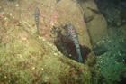 leopard_spotted_goby.jpg